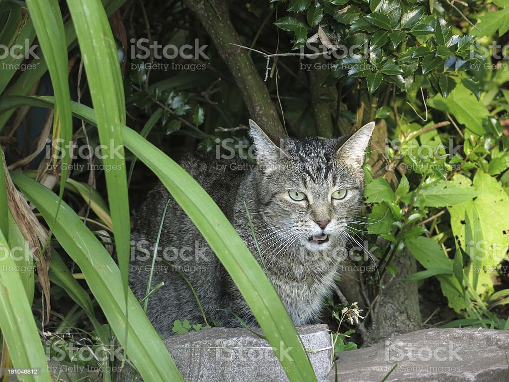Tabby Cat Meowing Outdoors royalty-free stock photo