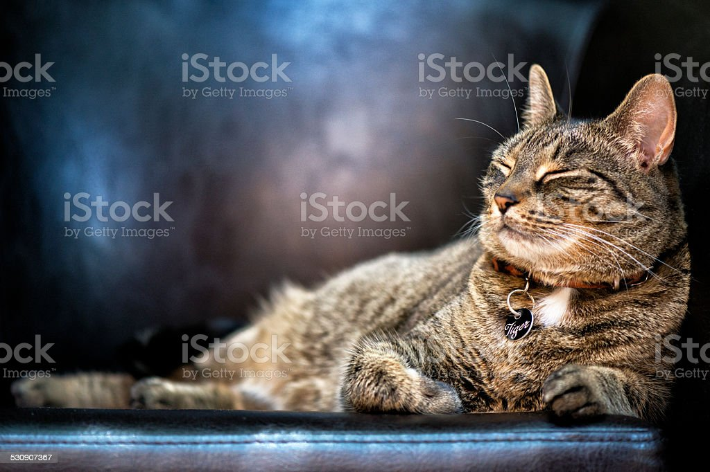 Tabby Cat Named Tiger stock photo