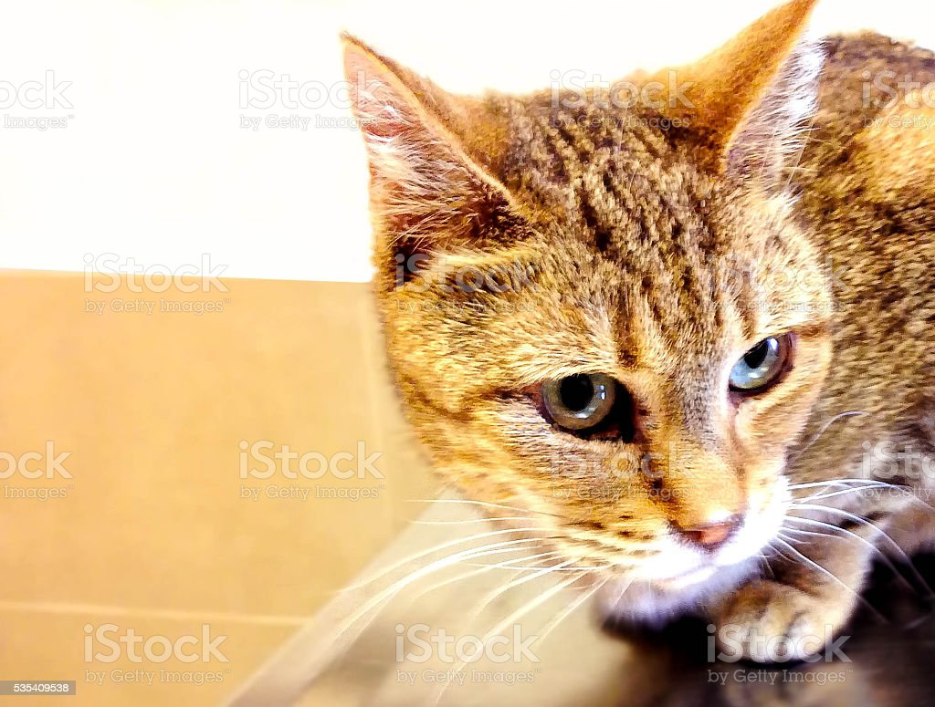 Tabby cat on Examination Table stock photo