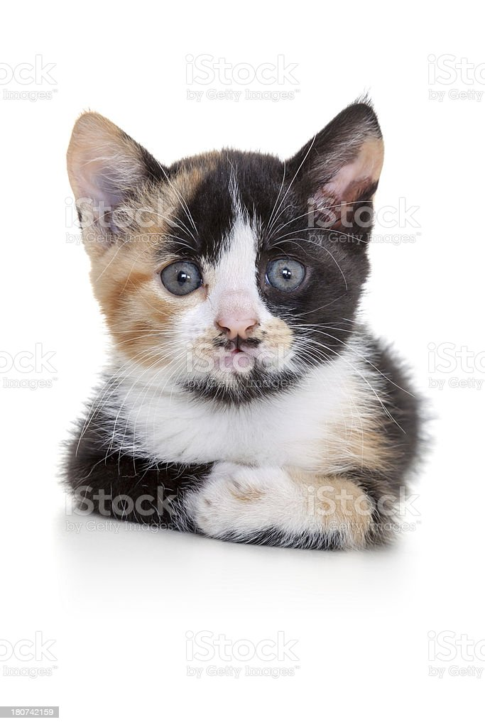 tabby cat on white background royalty-free stock photo