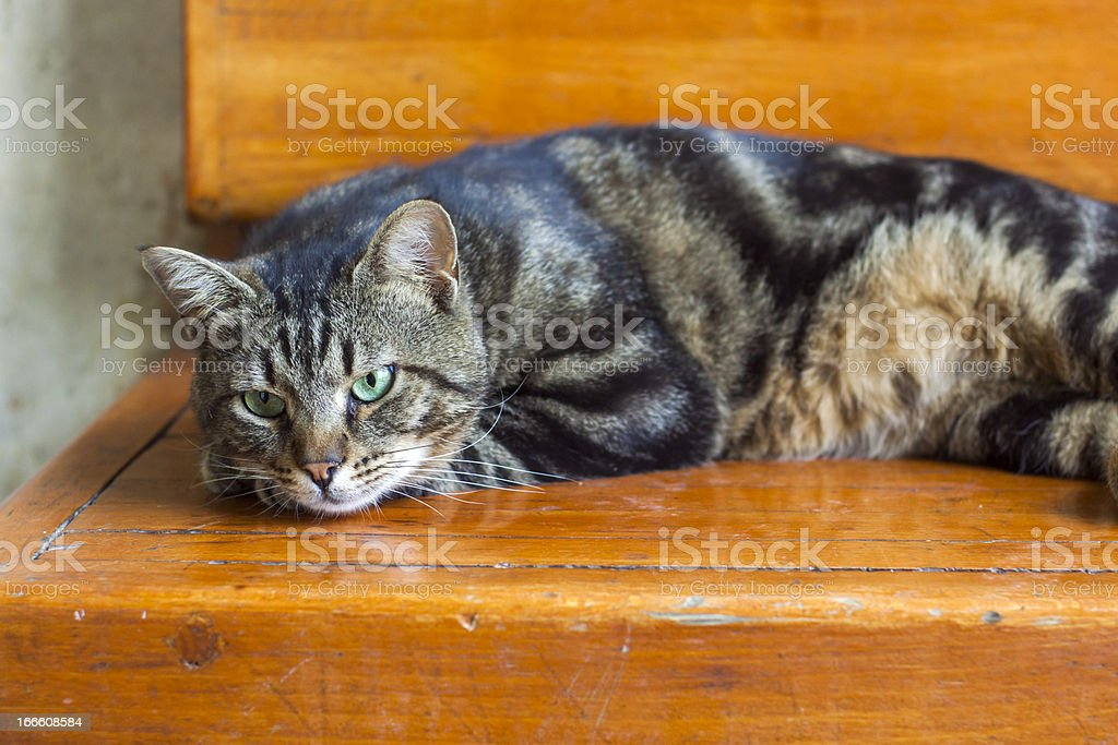 Tabby Cat royalty-free stock photo