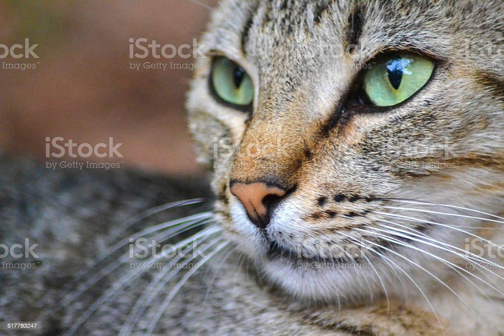 Tabby cat portrait stock photo