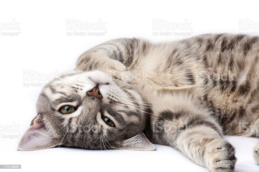 Tabby cat relaxing stock photo