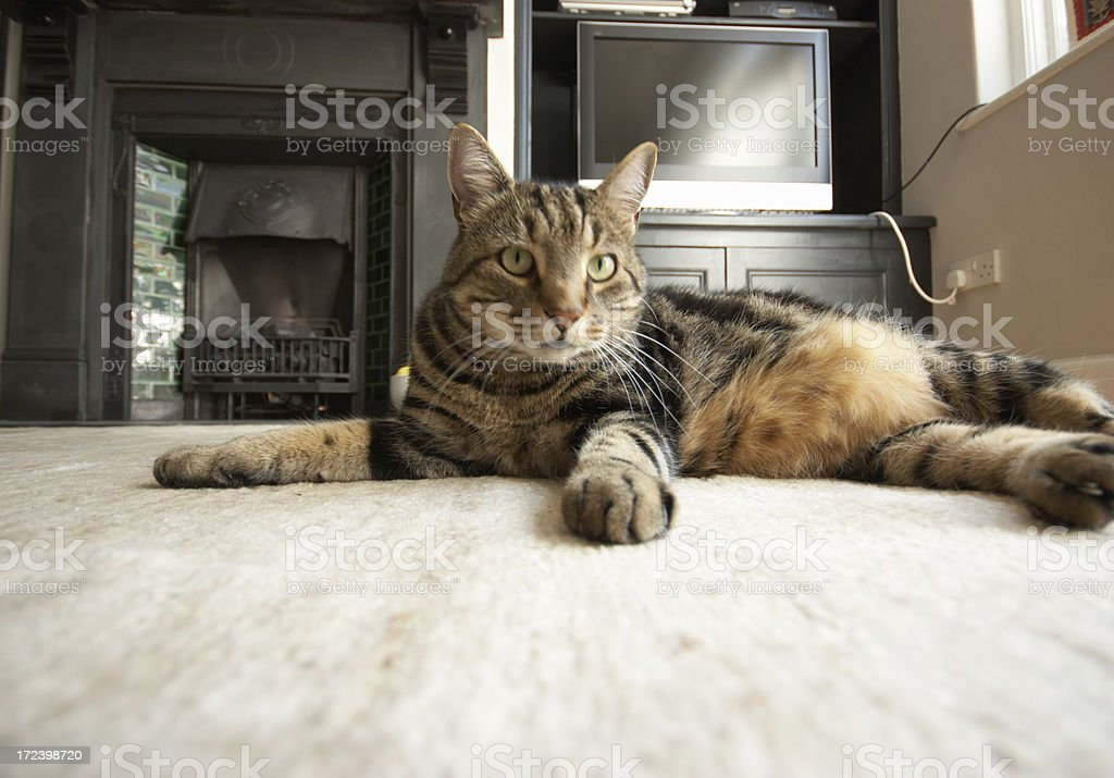 Tabby cat resting paw out royalty-free stock photo