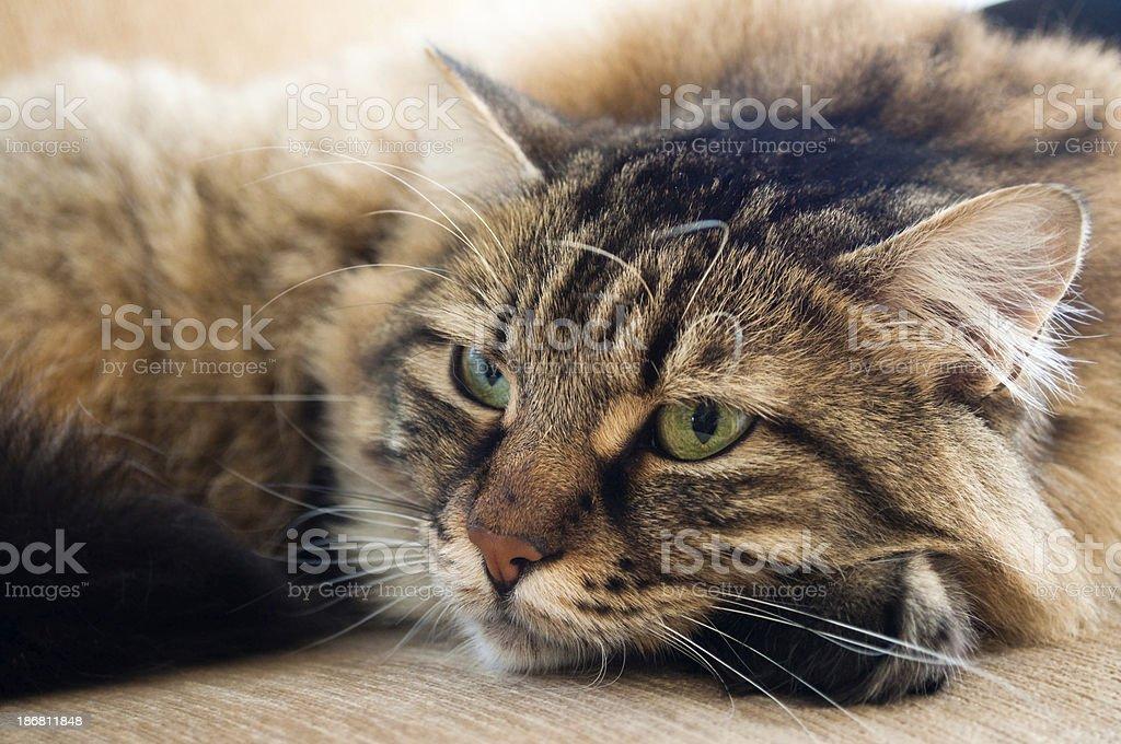 tabby cat resting stock photo