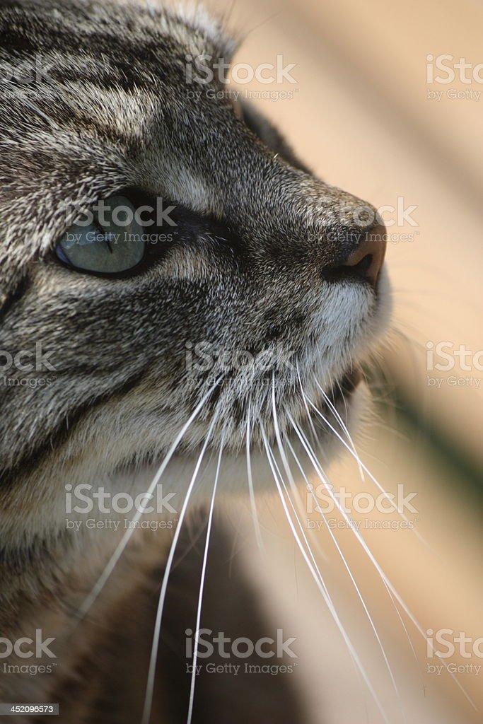 Gato atigrado lengua Flick foto de stock libre de derechos