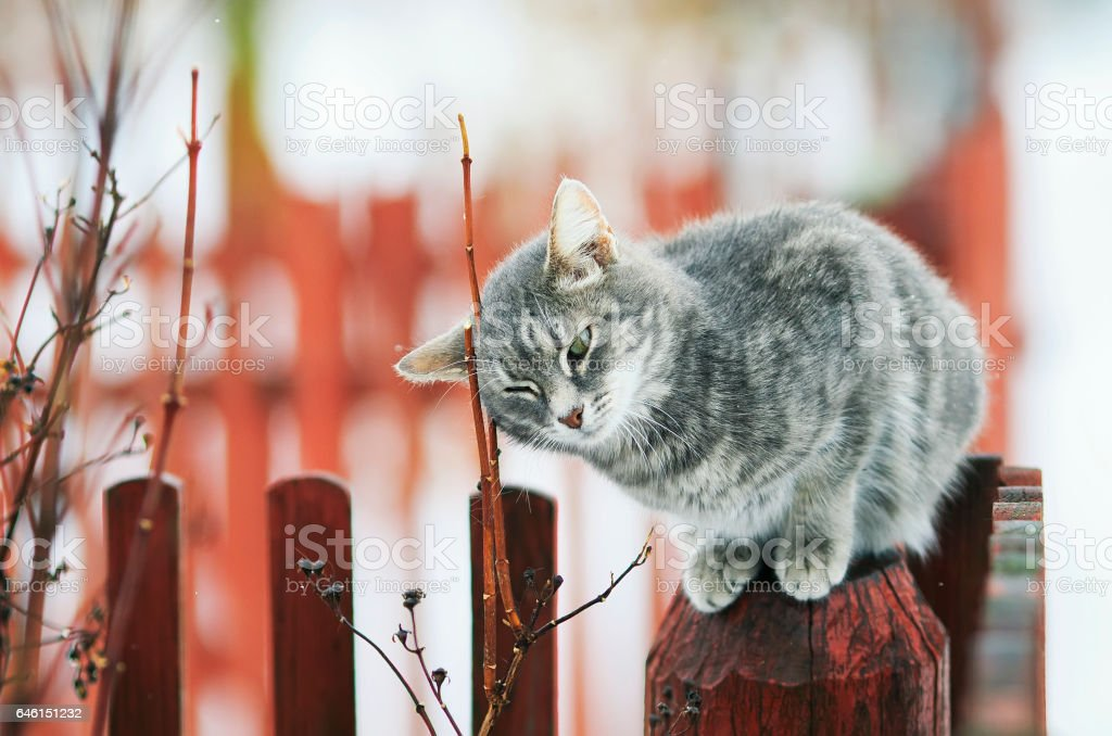 tabby cat walks in the spring in the village and fondled stock photo