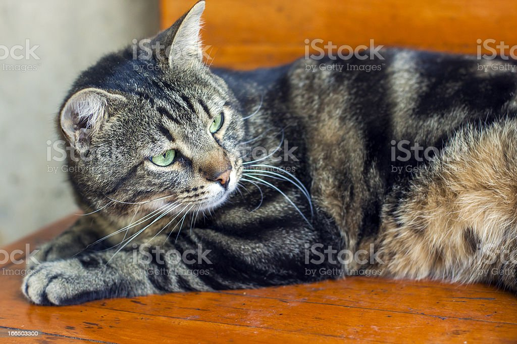 Tabby Cat with Green Eyes royalty-free stock photo