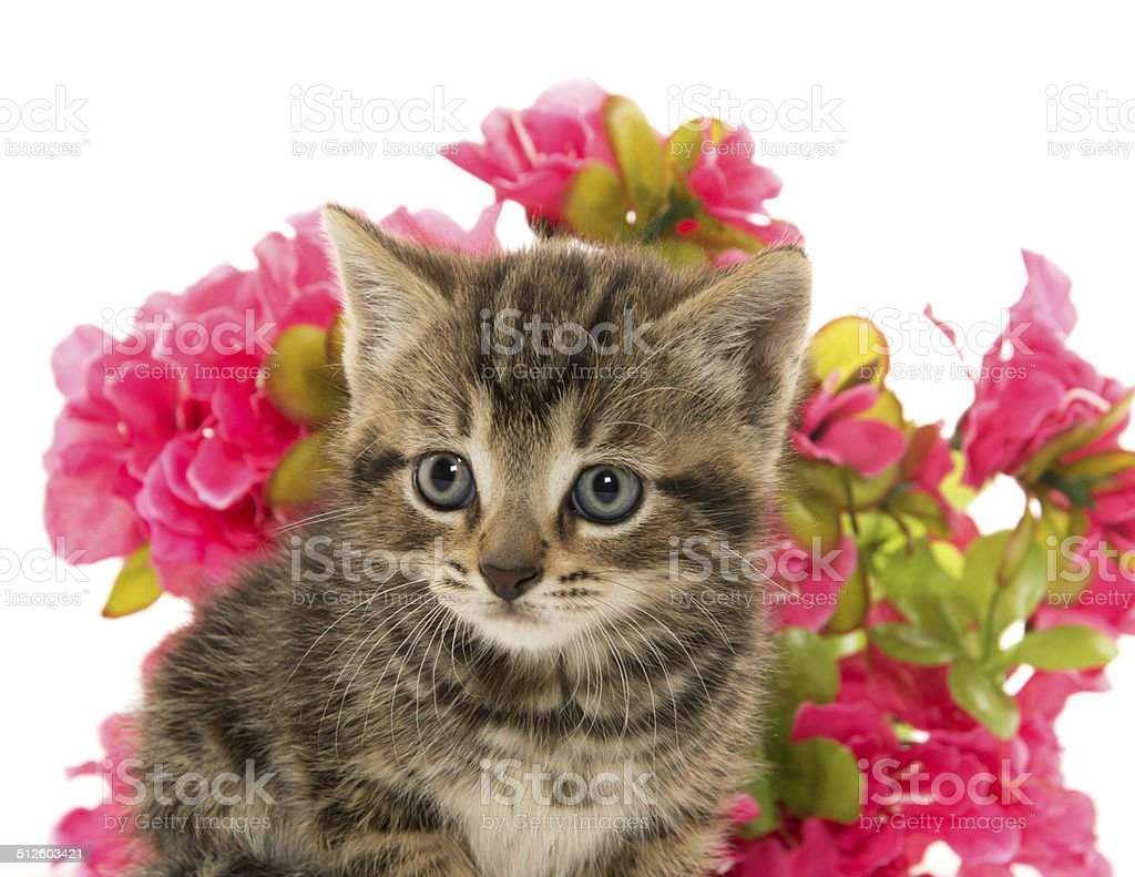 tabby kitten and flowers stock photo