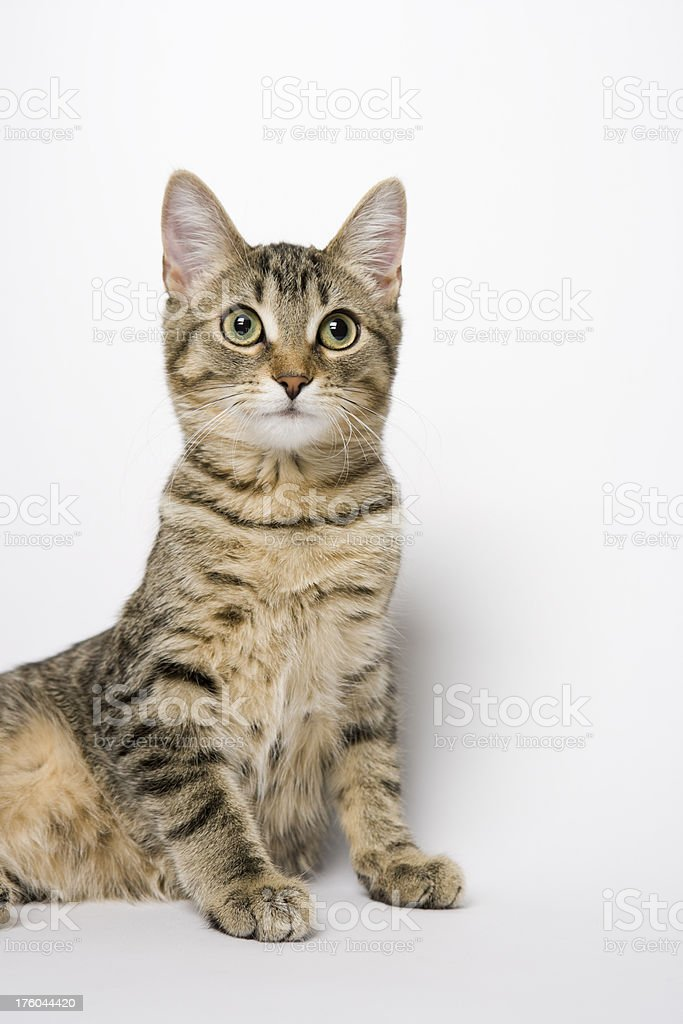 Tabby Kitten looking up stock photo