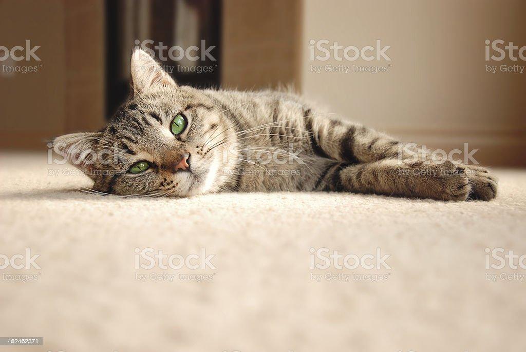 Tabby Kitten relaxing on carpet stock photo