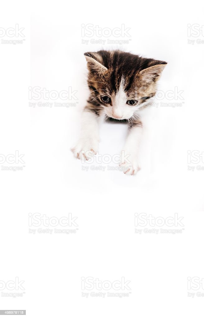 Tabby kitten with white paws on a white background stock photo