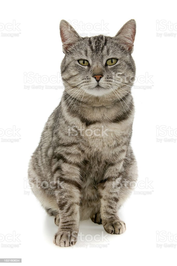 Tabby stock photo