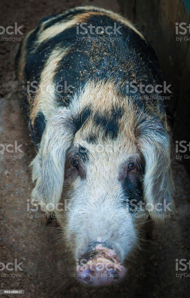 Tabby pig staring at the camera stock photo