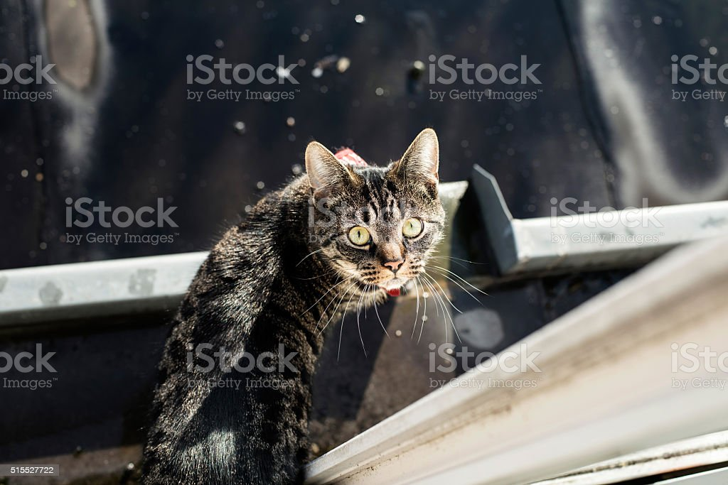 Tabby standing in gutter looking up towards camera. stock photo