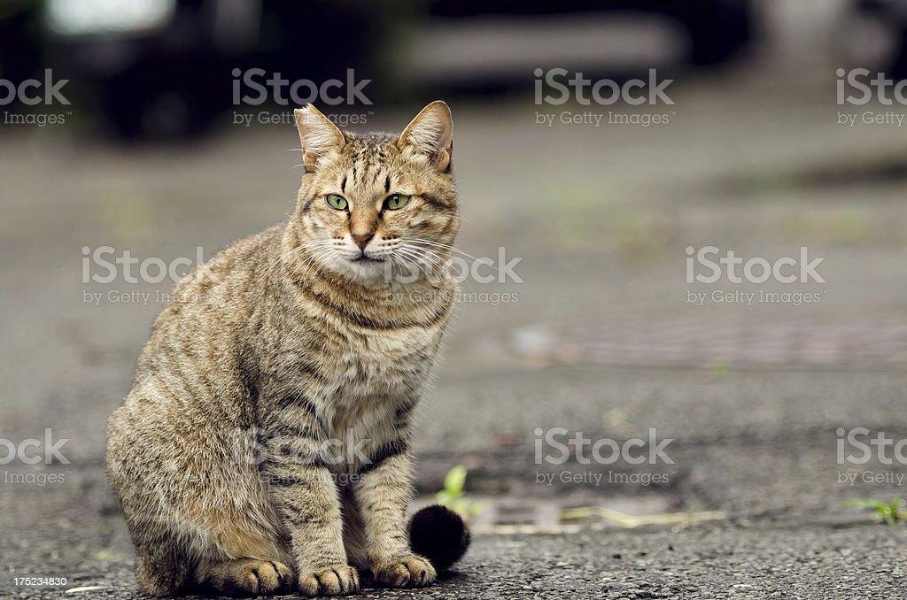 Tabby undomesticated cat sit on ground.