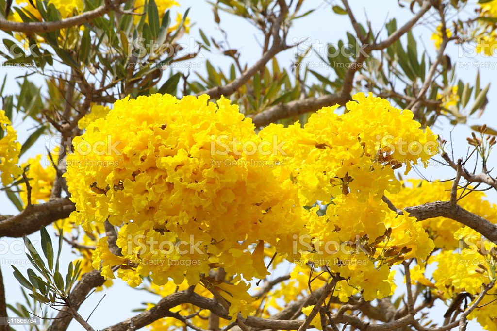Tabebuia aurea flower stock photo
