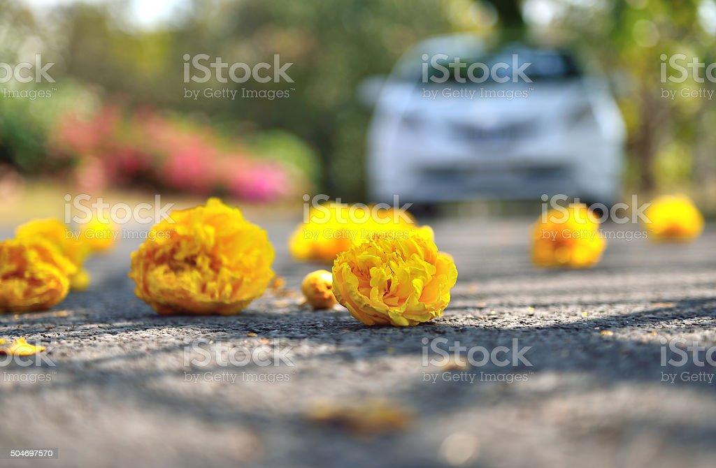 Tabebuia aurea stock photo