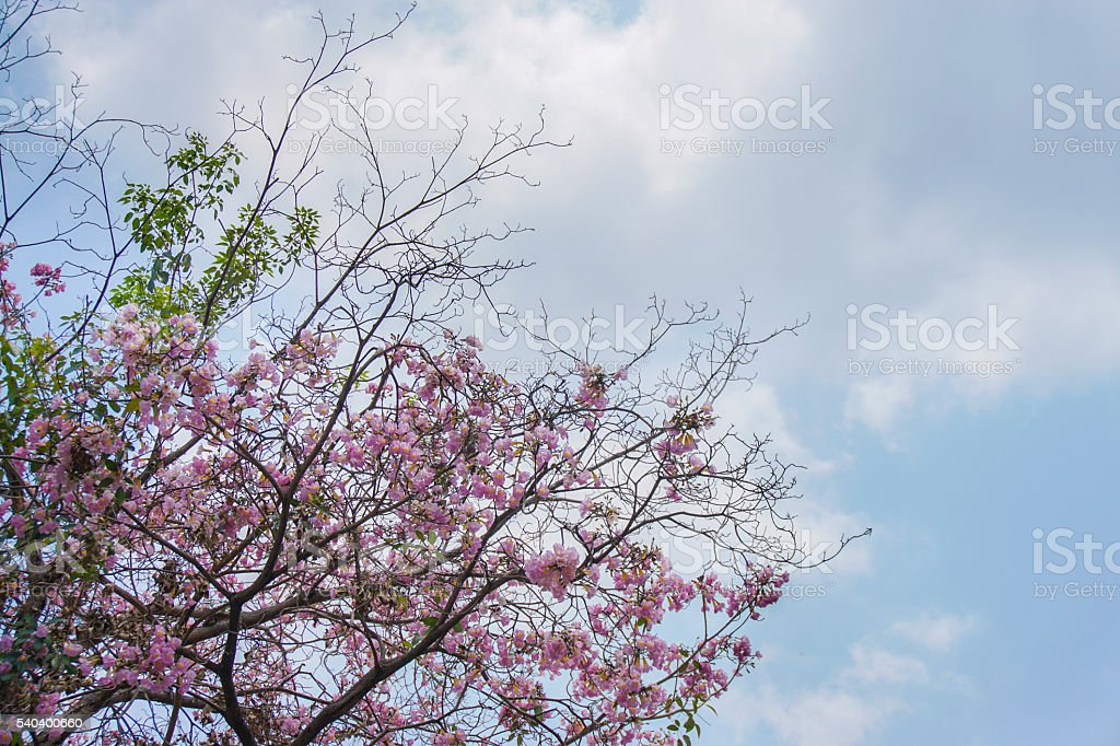 Tabebuia, pink flower and blue sky. stock photo