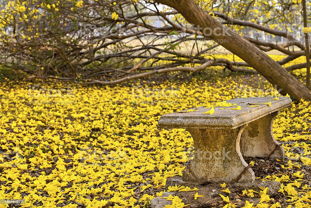 Tabebuia yellow tree in park. royalty-free stock photo