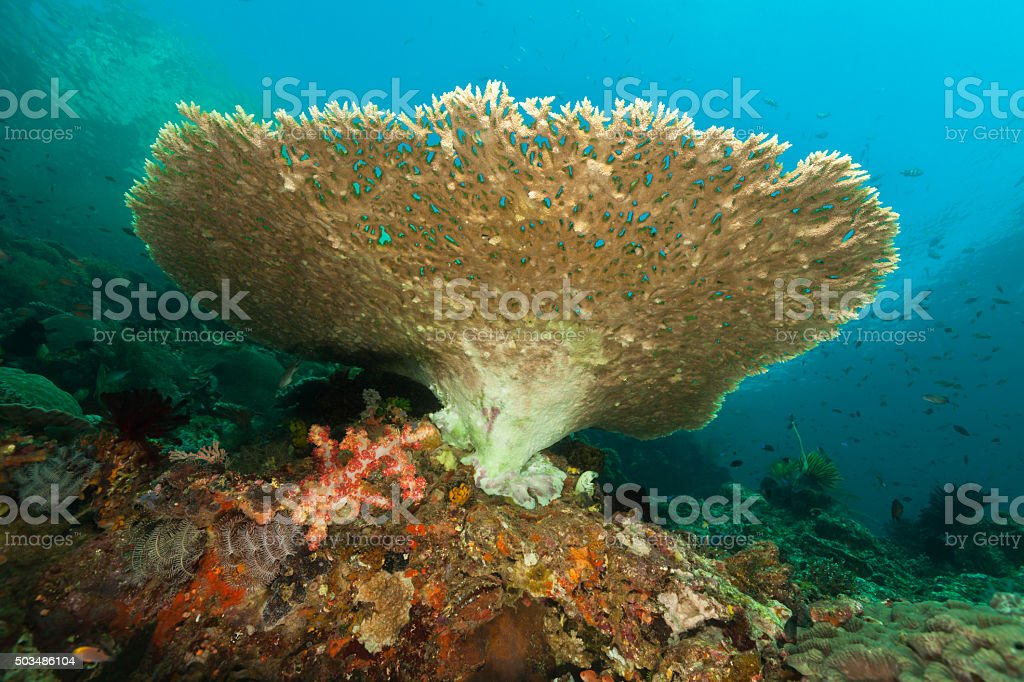 Table Coral Beauty in Indonesian Waters, Komodo National Park, Indonesia stock photo