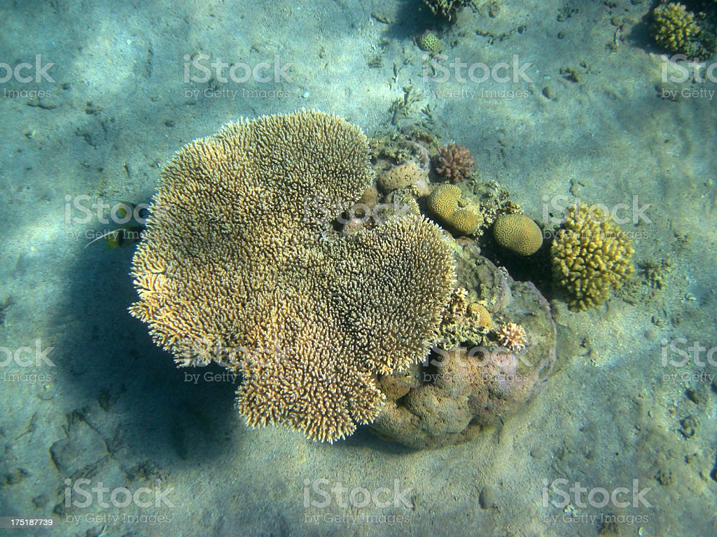Table coral royalty-free stock photo