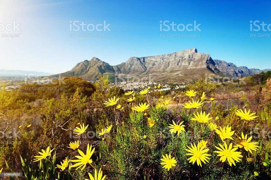 Table Mountain seen past a patch of wildflowers stock photo