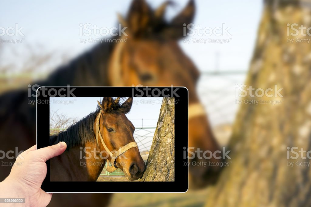 Tablet photography concept. A brown horse in the forest stock photo
