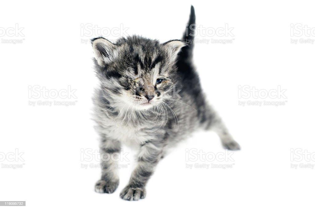 Taby Kitten On white stock photo