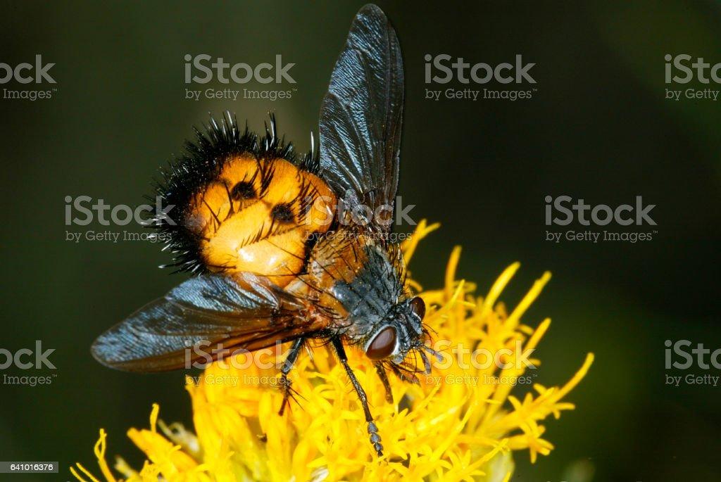 Tachinid Fly (2) stock photo