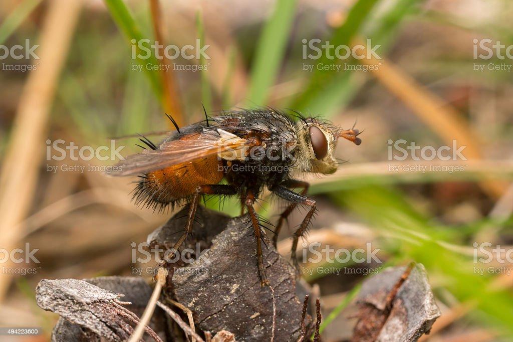Tachinid fly, Tachina fera stock photo