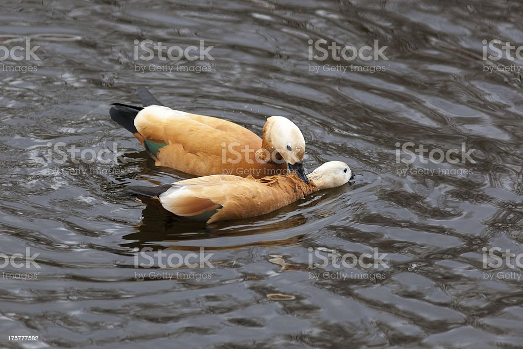 Tadorna ferruginea, Ruddy Shelduck. royalty-free stock photo