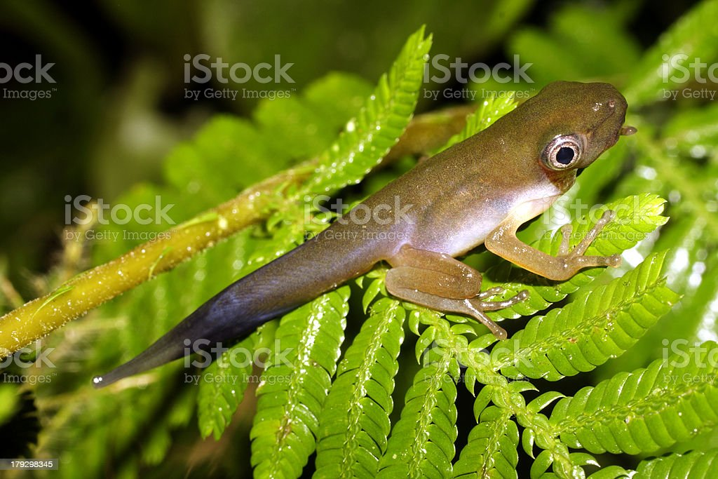 Tadpole changing into a frog stock photo
