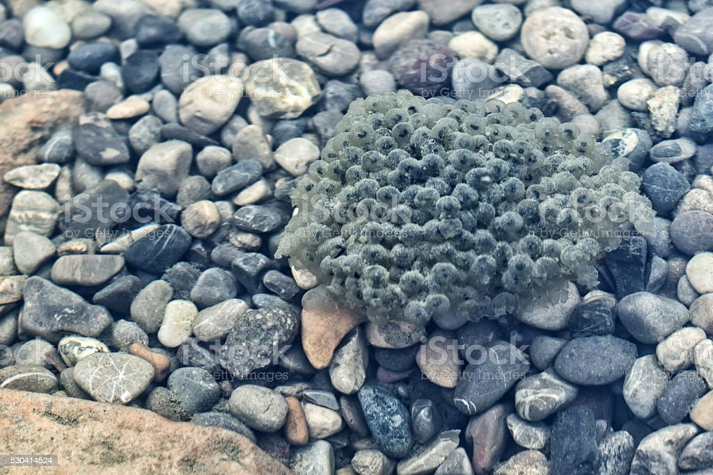 tadpole laying on gravel bed in clear river water stock photo
