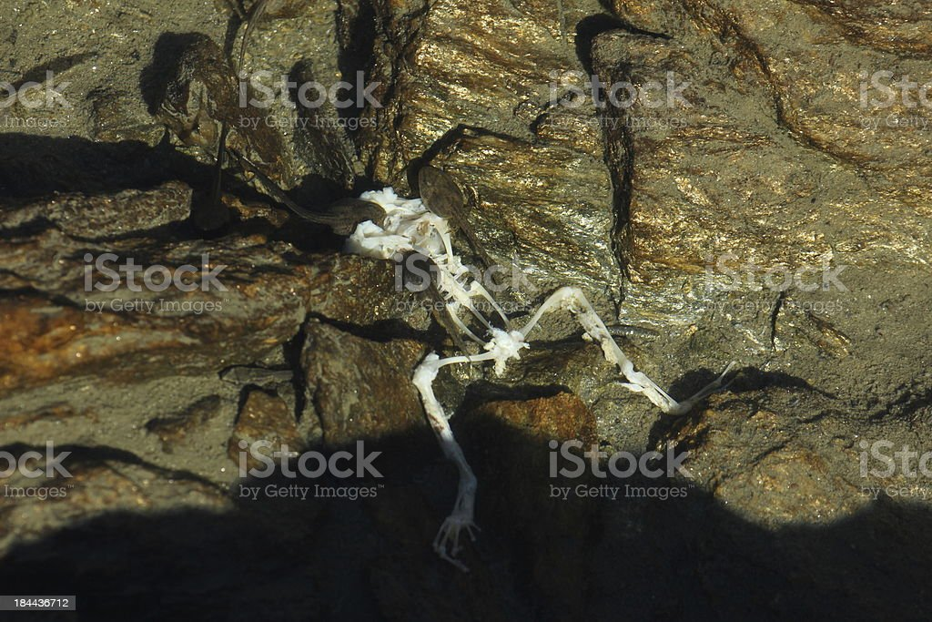 Tadpole, Pollywog eating a dead frog. stock photo