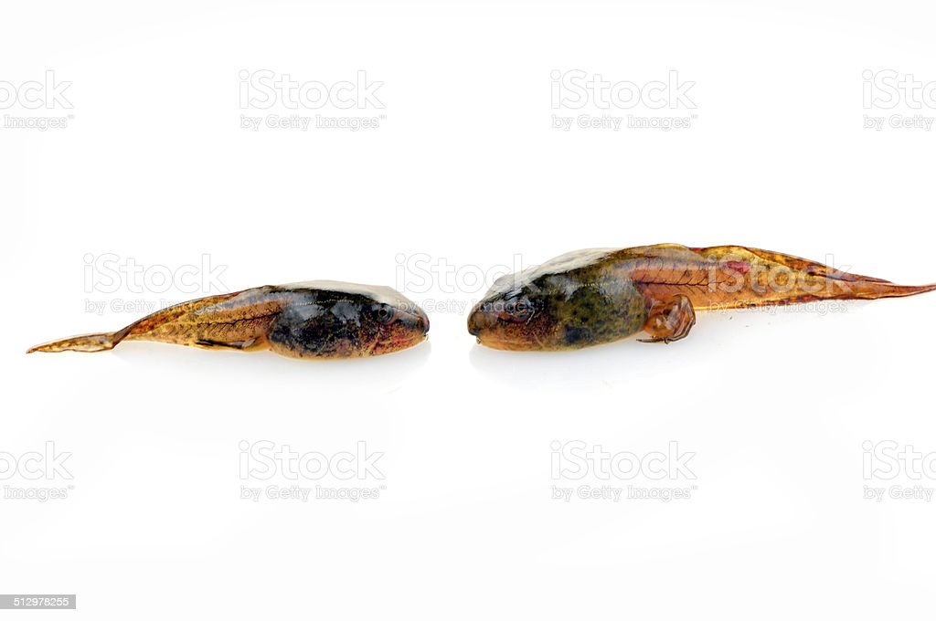 Tadpoles in close-up pictures on a white background stock photo