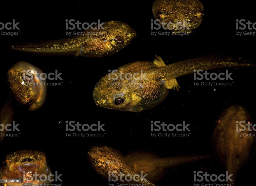 Tadpoles - Osteopilus septentrionalis stock photo