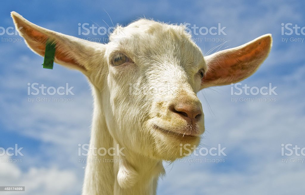 Tag goat stock photo