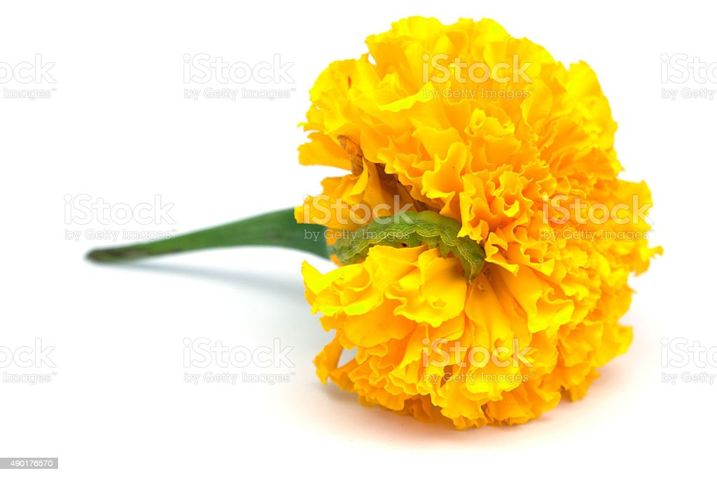 Tagetes Erecta Flower With Worm stock photo