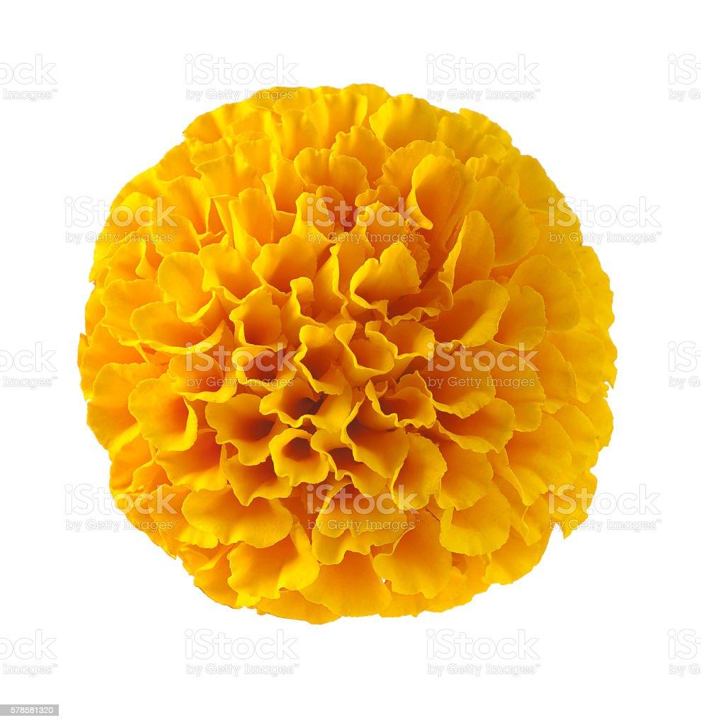 Tagetes erecta Zempazuchitl Marigold flower stock photo