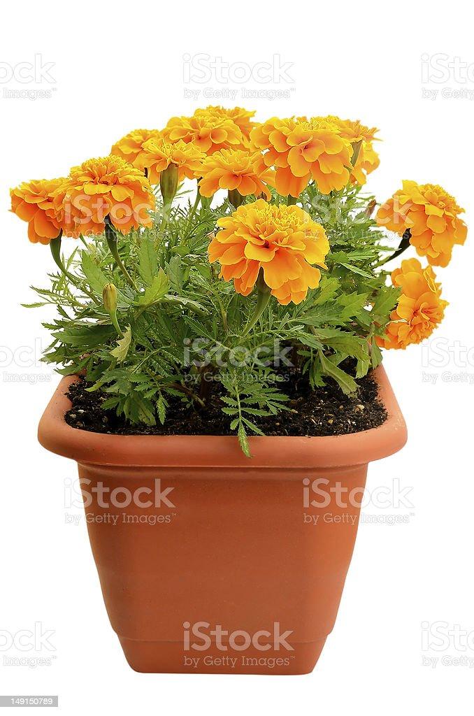 Tagetes flower in balcony flowerpot stock photo