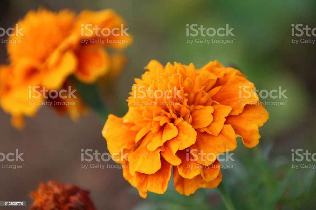 Tagetes flowers closeup stock photo