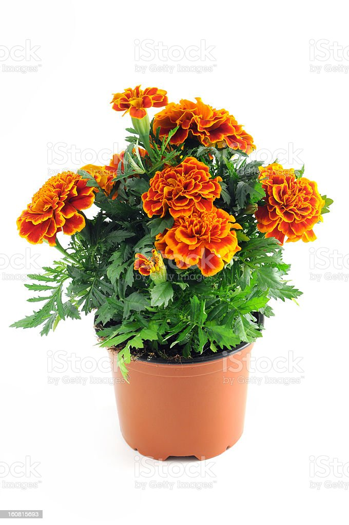Tagetes in a pot isolated on white background- Studentenblumen stock photo
