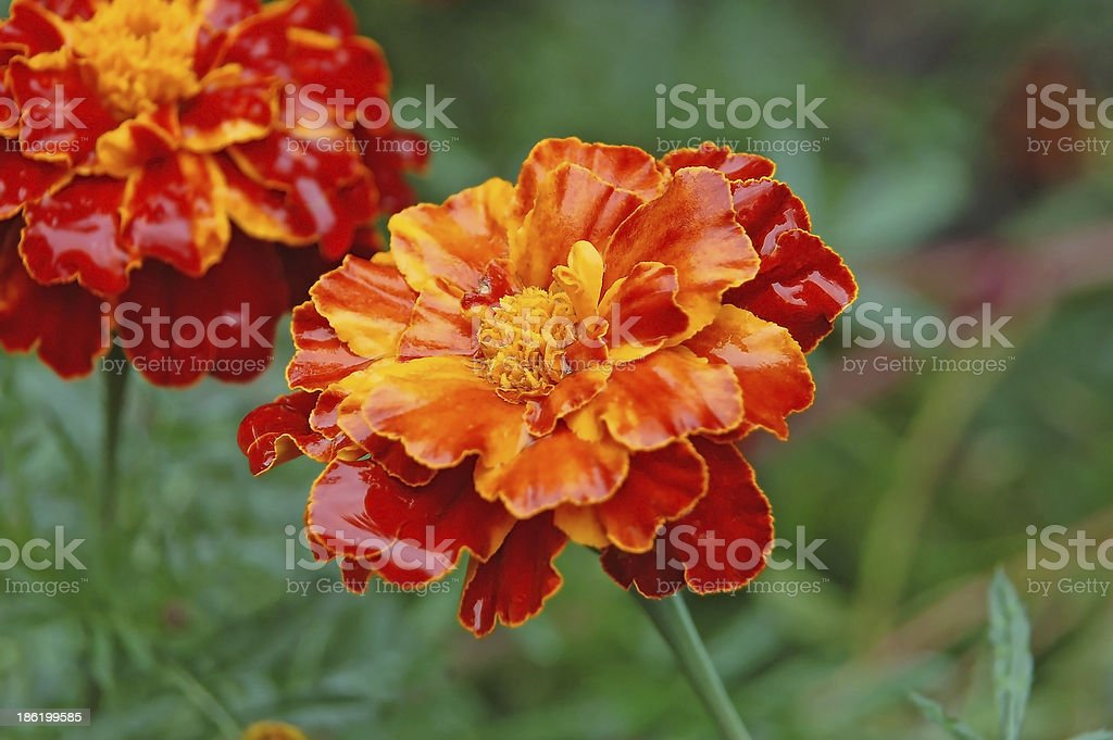 Tagetes royalty-free stock photo
