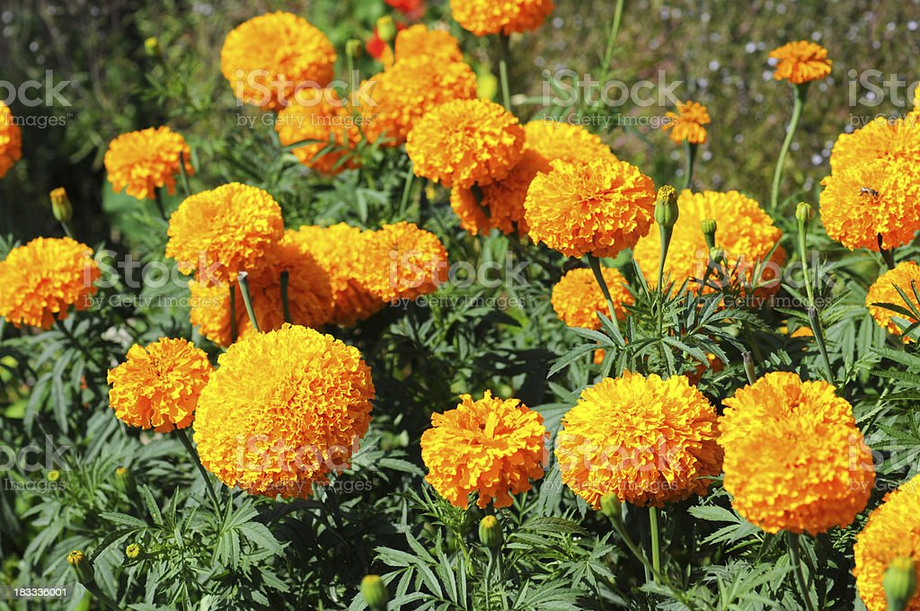 Tagetes - Studentenblumen stock photo
