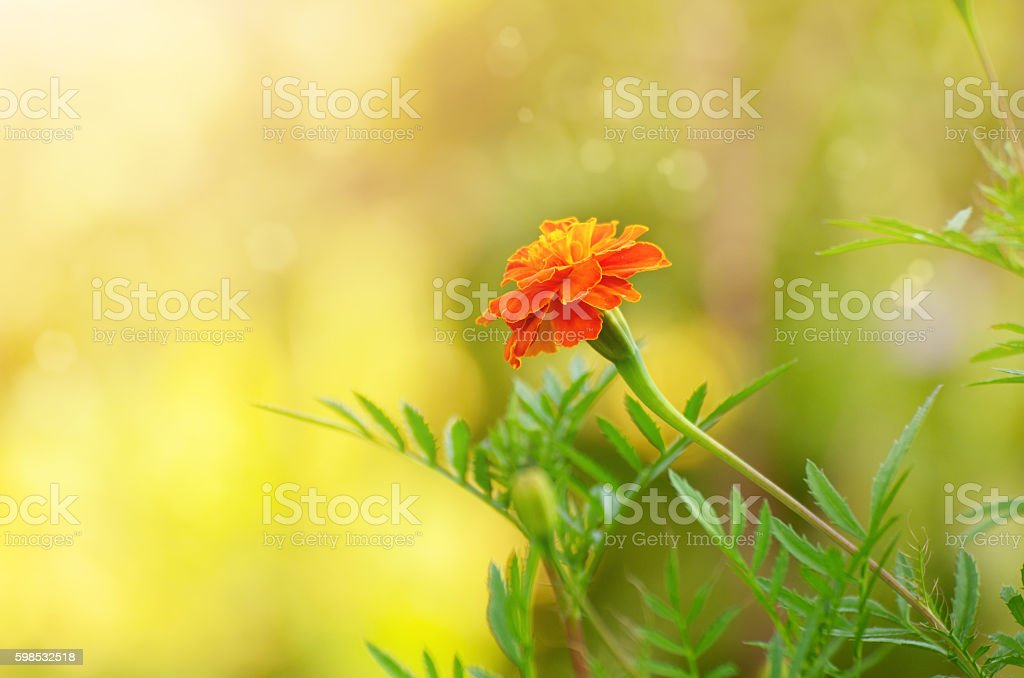 Tagetes summer time stock photo