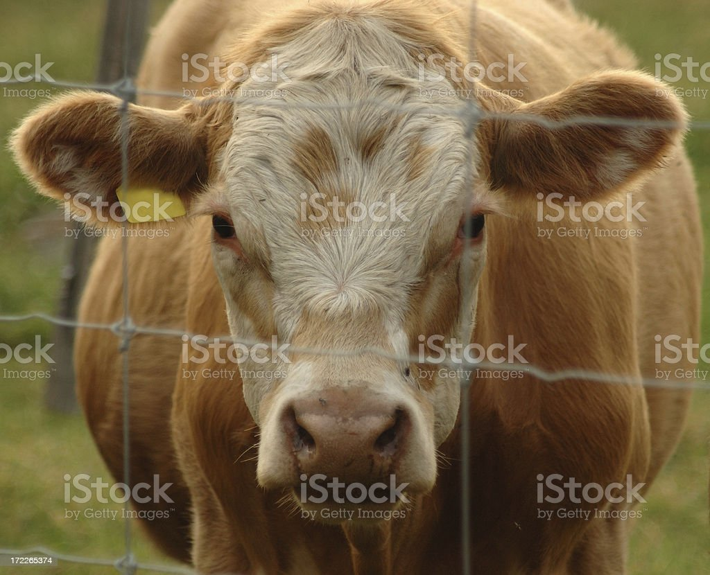 Tagged Cattle stock photo