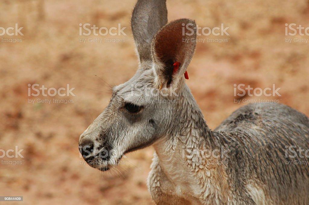 Tagged Kangaroo stock photo