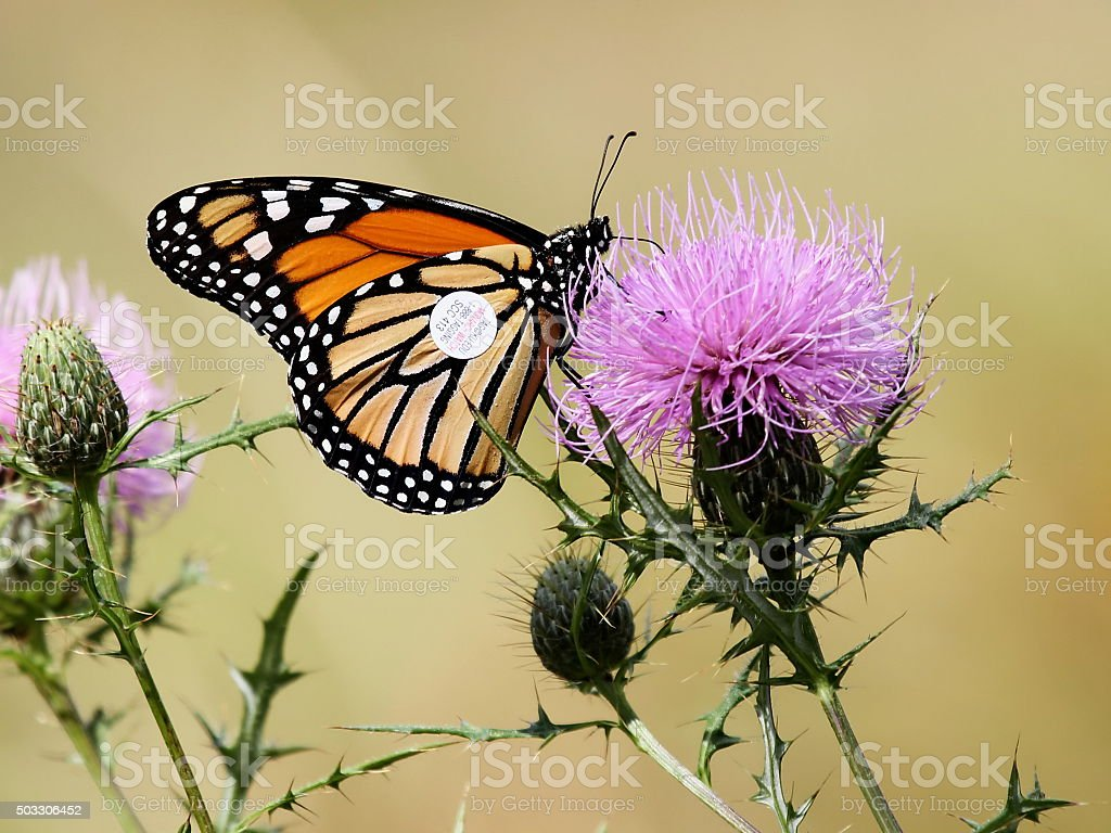 Tagged Monarch Butterfly stock photo