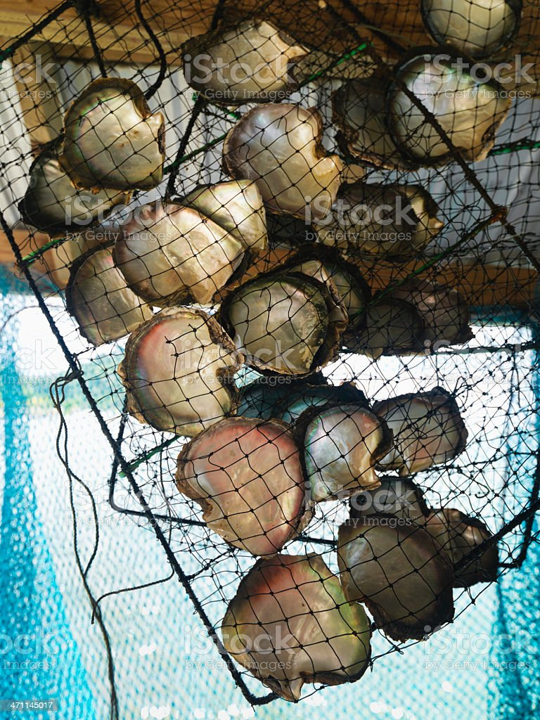 Tahiti Pearls Oyster Cultivation stock photo
